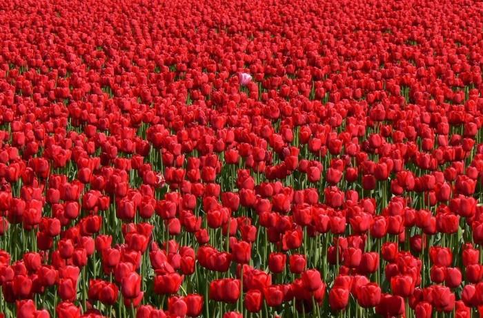 Фестиваль тюльпанов в Нидерландах онлайн